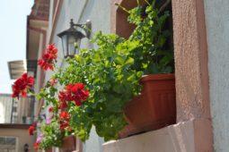 Blumen vor Fenster