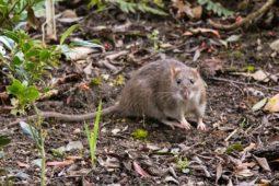 Mietminderung wegen Rattenbefalls und Baulärms vom Nachbargrundstück
