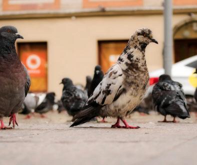 WEG – Verstoß gegen Taubenfütterungsverbot durch Sondereigentümer