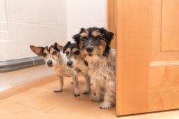 Hundehaltung – Anspruch auf Haltung von mehreren Hunden in Wohnung?