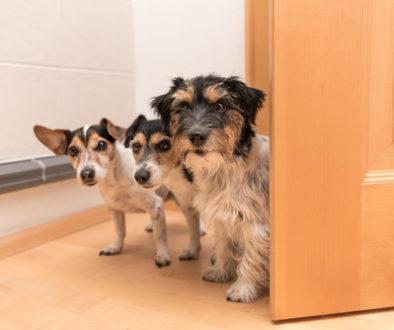 Mietwohnung - vertragswidrige Haltung mehrerer Hunde