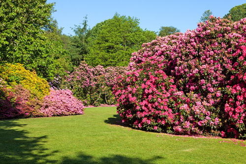 WEG - Rhododendron-Büsche